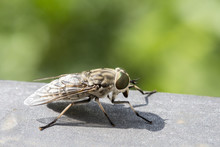 Closeup Of A Horsefly