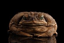 Cane Toad - Bufo Marinus, Gian...