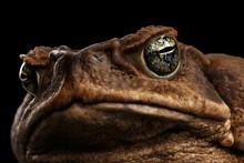 Closeup Cane Toad - Bufo Marin...