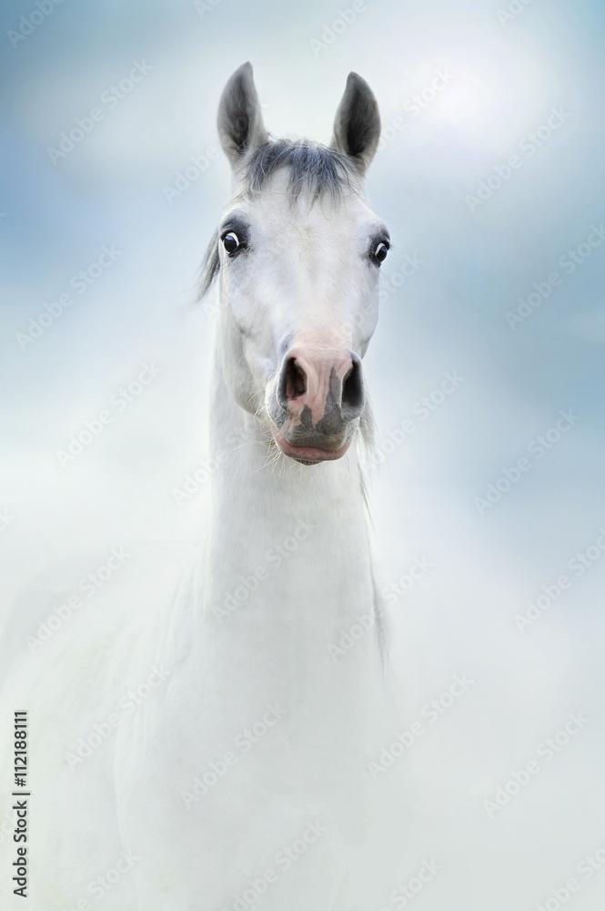 Fototapeta siwy koń