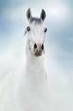 siwy koń