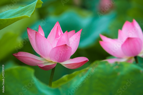 Foto op Aluminium Lotusbloem Beautiful lotus flower
