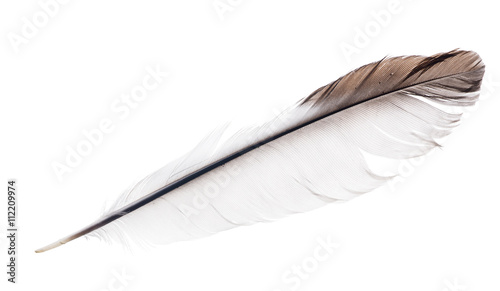 light isolated straight feather with brown edge