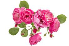 Flowering Branch Of Pink Wild ...