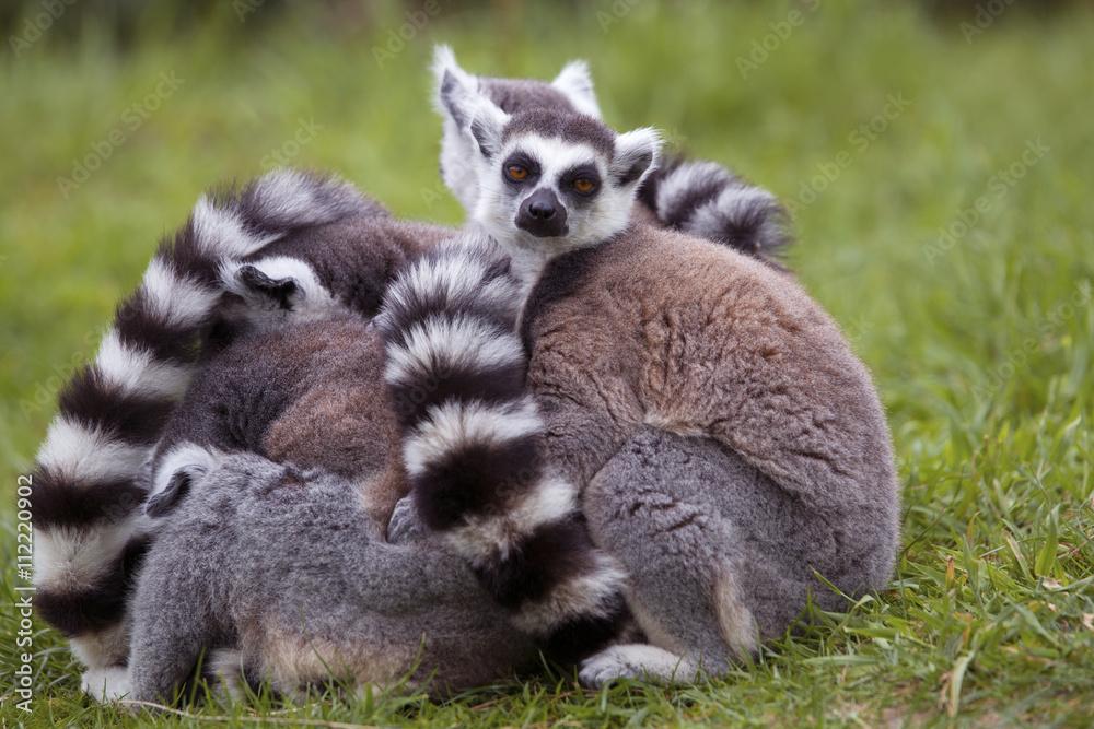 Lemur Plakat