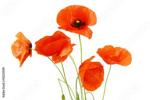 Foto op Plexiglas Poppy coquelicots sur fond blanc