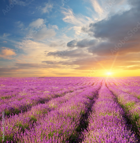 Lavender beautiful meadow. - 112222653
