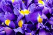 Leinwandbild Motiv Iris flowers background, spring floral patern.