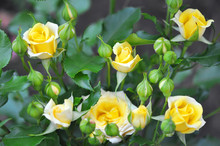 Yellow Roses Outdoor, Many Flowers, Top View