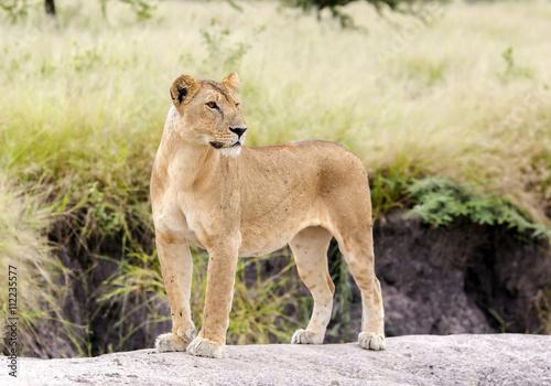 Fotografie, Obraz  Lovely lioness gracefully standing on a rock in a park Tarangire, Tanzania