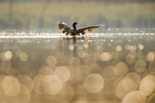 A Double-crested Cormorant Flaps Its Wings Dry As The Early Morning Sun Lights Up The Bird And Small Bubbles On The Surface Of The Calm Water.