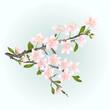 Branch cherry sakura flowers with leaves vector illustration