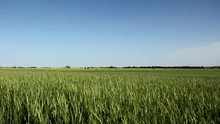 Camera Tilts Down From A Bright Blue Sky To Reveal A Large Green Wheat Field Blowing In The Wind