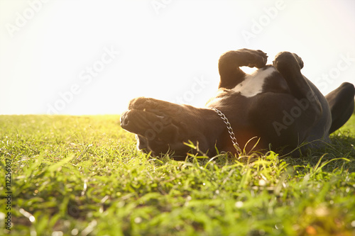 Happy dog rolling in grass Poster