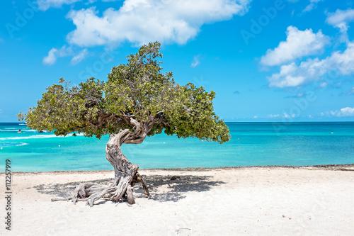 Divi divi tree on Aruba island in the Caribbean Sea Wallpaper Mural