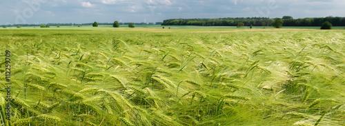 Kornfeld mit frischem Getreide der Gerste (Hordeum vulgare)