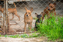 Cute Group Of Chihuahuas In A Cage And Gaze To Camera. Chihuahuas Is The Smallest Breed Of Dog And Is Named For The State Of Chihuahua In Mexico. Chihuahuas Come In A Wide Variety Of Sizes.