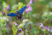 Carpenter Bee Or Xylocopa