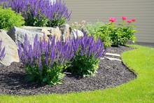Salvia Flowers And Rock Retain...