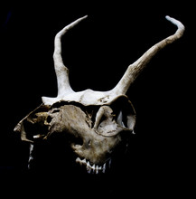 Deer Skull With Odd Antlers