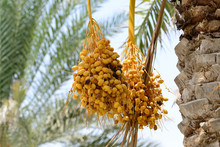Cluster Of Ripening Dates Hang...