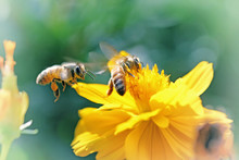 Vintage Photo Of Yellow Wild Flower With Bee In The Garden