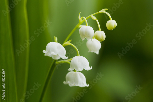 Staande foto Lelietje van dalen Forest lily of the valley natural light