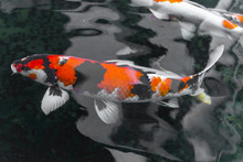 Beautifulfish CARP Fancy /  Koi Fish Swimming In Pond, Japanese