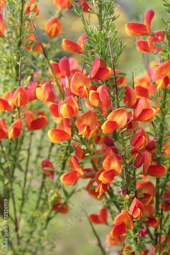 Fiori Gialli E Arancioni.Fiori Giallo E Arancione Di Ginestra Spartium Junceum Buy This