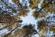View Looking Up To Sky Through Corsican Black Pine