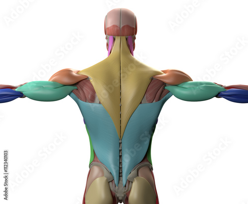 Human Anatomy Muscle Groups Torso Back 3d Illustration Buy