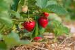 canvas print picture - Reife rote Erdbeeren und nachwachsende grüne Erdbeeren am Erdbeerstrauch auf der Erdbeerplantage