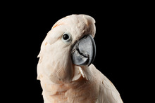 Closeup Head Of Beautiful Moluccan Cockatoo, Pink Salmon-crested Parrot Isolated On Black Background