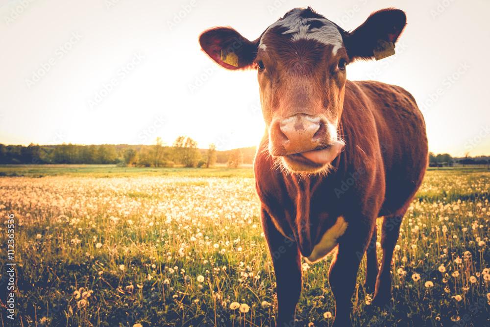 Fototapeta Einzelne Kuh auf Butterblumenwiese in der Abendsonne