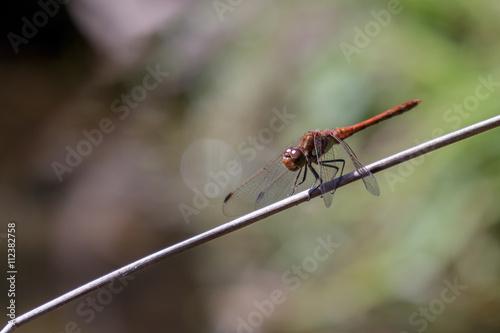 Fotografie, Obraz  Common Darter (Sympetrum striolatum)