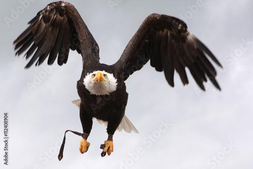 Poster Eagle Aigle en vol