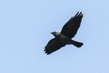 Flying Jackdaw, Corvus Monedula Bird