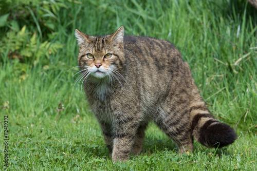 Photo  Scottish Wildcat