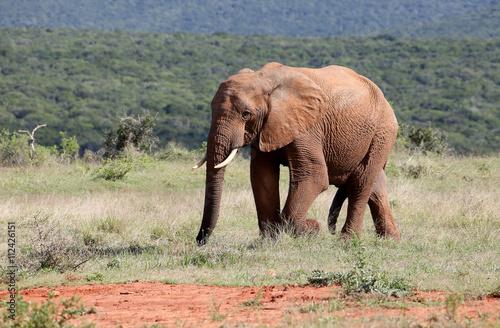 Large Wild African Elephant