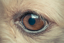 Macro Of Dog Eye