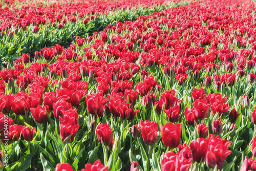 Red Tulip field in springtime