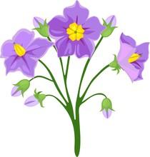 Flowers Of Potato Plant