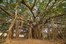 Tree Of Life, Amazing Banyan T...