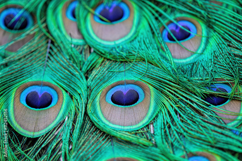 Foto op Aluminium Pauw Extreme close-up details of an Indian male peacock (Pavo cristatus) tail quill feathers, selective focus.