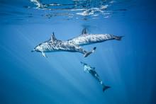 Dolphins Swim In The Ocean. Photo Underwater