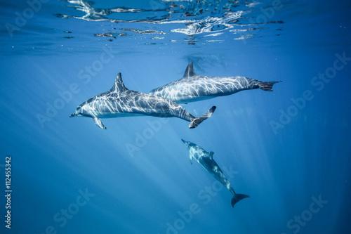 Fotografía Los delfines nadan en el océano. bajo el agua foto