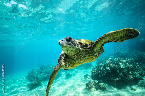 Poster Schildpad Giant tortoise close-up swims underwater ocean background of corals
