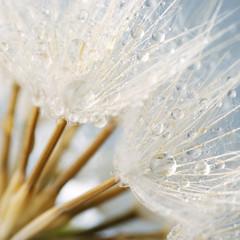 Fototapeta Dmuchawce Close-up of dandelion with drops