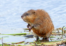 Muskrat In The Spring