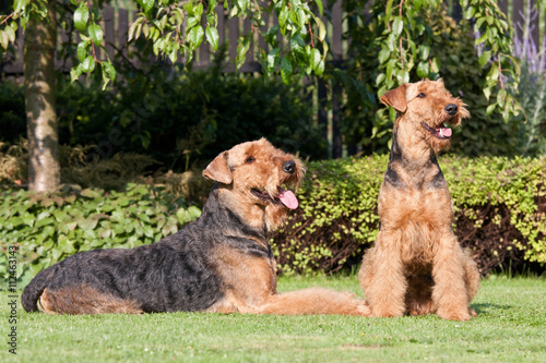 Portrait of nice airedale terrier Wallpaper Mural